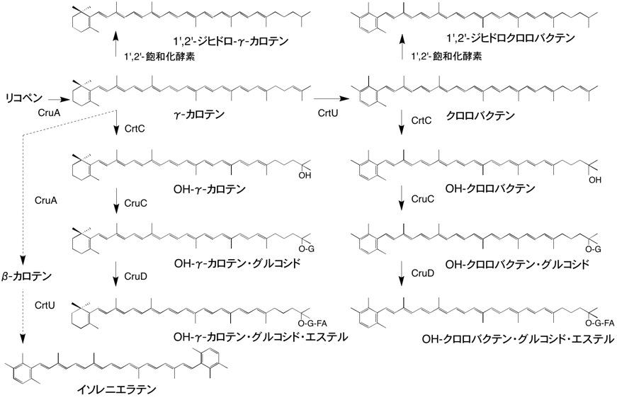 カロテノイドの生合成 - 光合成事典