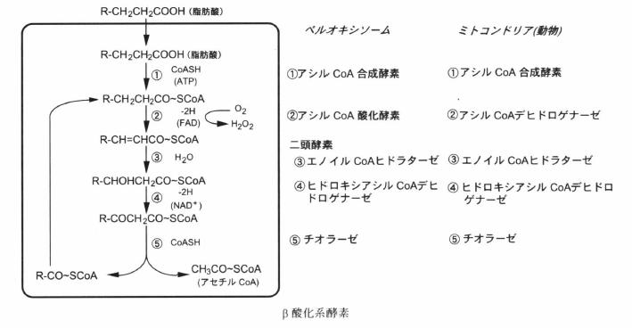 b-oxidation-2.png