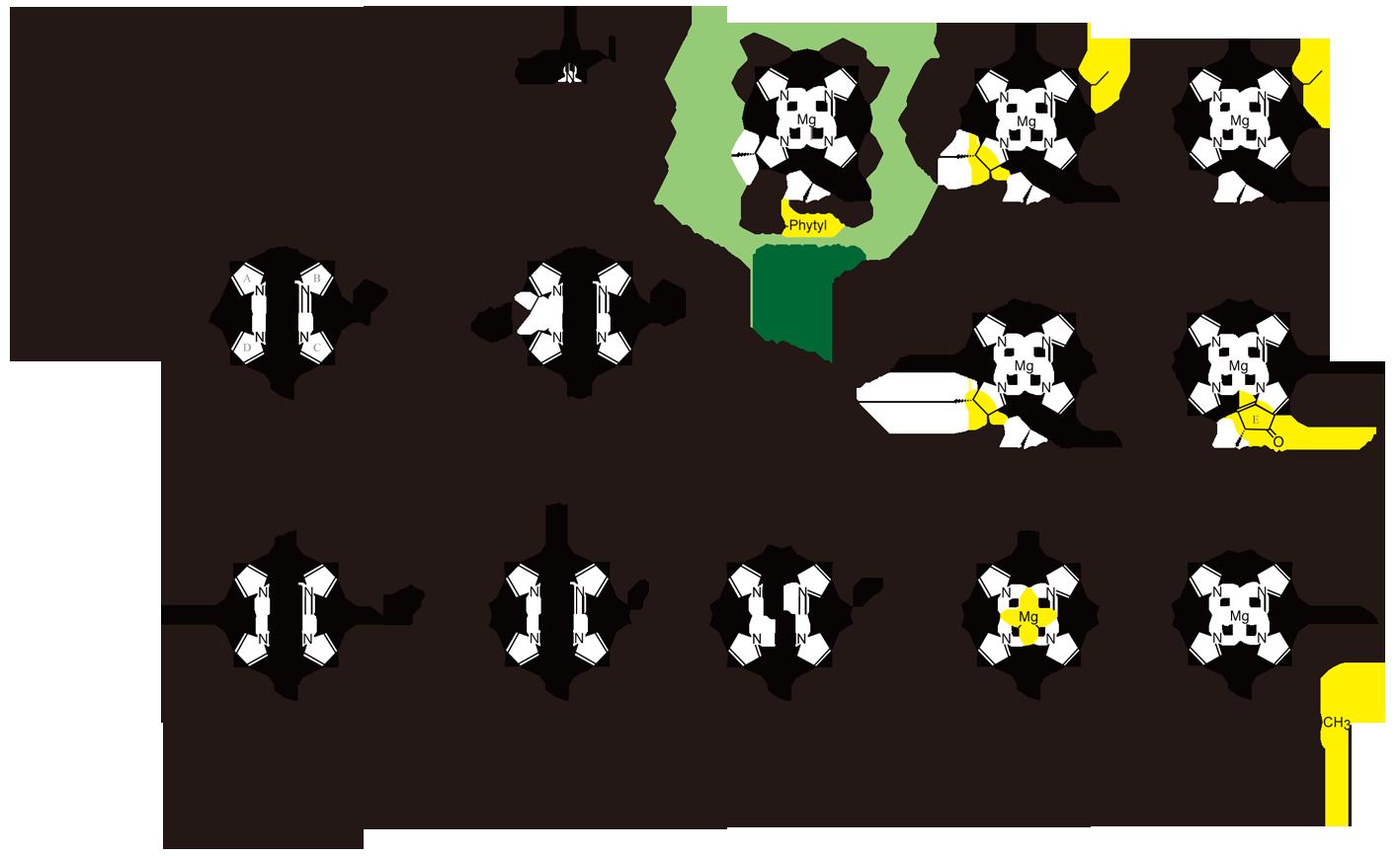 クロロフィルa生合成図hr2.png