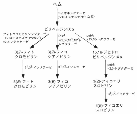 phycobilin biosynthesis.png