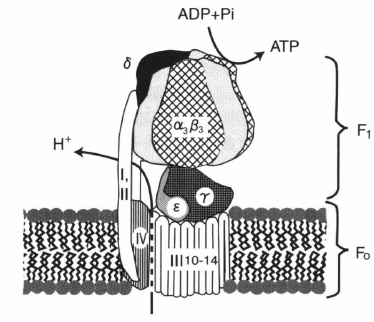 ATP synthase.png