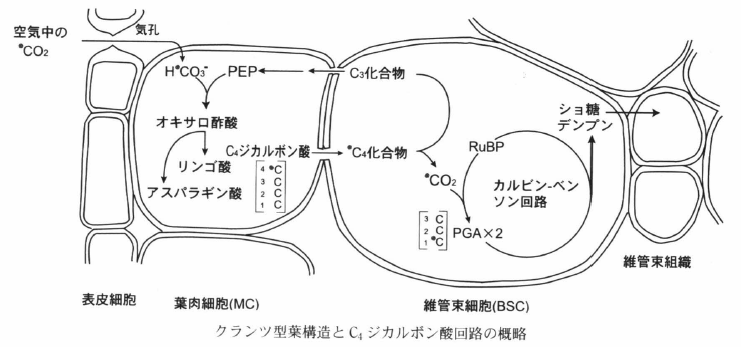 C4 dicarboxylic acid cycle.png