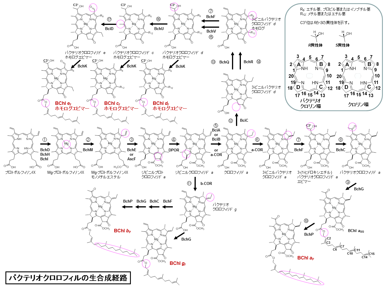 BChls biosynthesis.png
