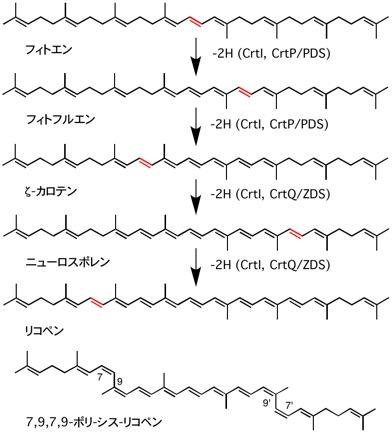 lycopene biosynthesis.jpg