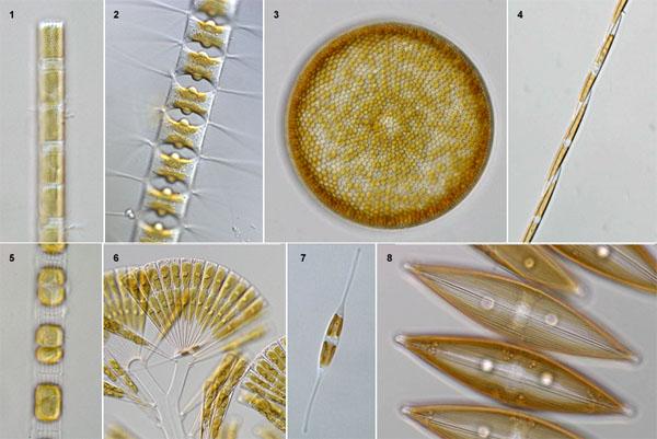 diatoms.jpg