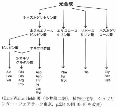 amino acid synthesis.png