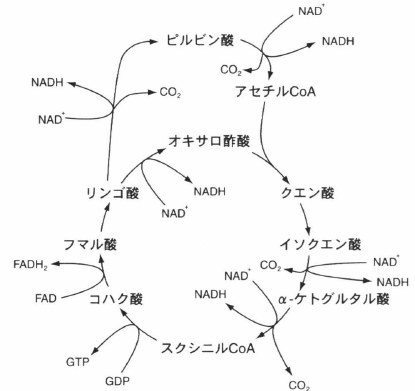 TCA cycle.png
